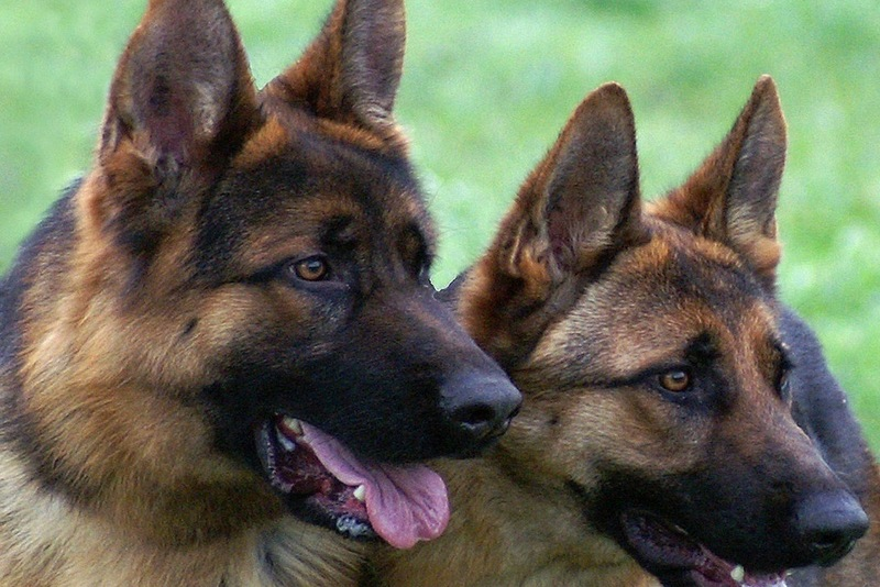 Эксперт: служебные собаки, обученные находить наркотики, от ломки не умирают