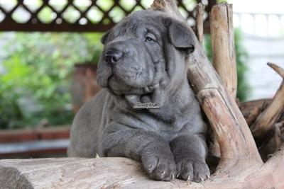 Шарпей щенки из питомника в Минске