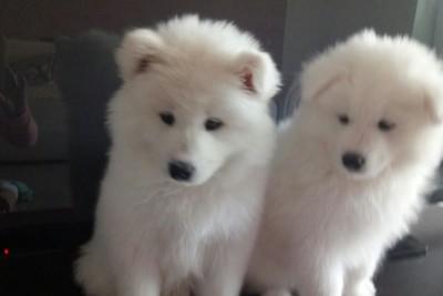 Продаются щенки самоедской лайки