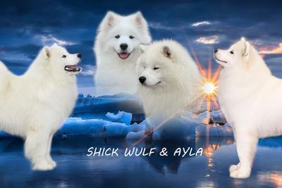 Щенки самоедской собаки (Самоед)